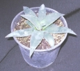 Agave parryi Cousei