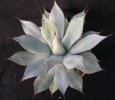 Agave parryi Huachucensis