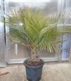 Jubaea chilensis Akce 2000,-kč!!