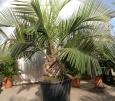 Jubaea chilensis  Akce 6000,-kč