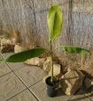 Musa sp. Helens hybrid