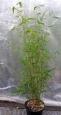 Phyllostachys aureosulcata Alata