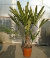 Rhapidophyllum hystrix Akce-50%