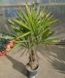 Rhapidophyllum hystrix  akce