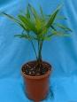 Trachycarpus Naini Tal