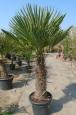 Trachycarpus fortune