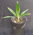 Trachycarpus fortunei ´České tropy´