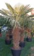 Trachycarpus fortunei, Španělsko
