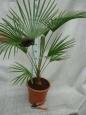 Trachycarpus princeps x sp. Nova