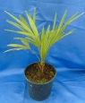 Trachycarpus sp.Green princeps