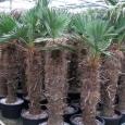 Trachycarpus wagnerianus, kvalita B