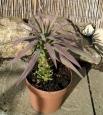 Yucca desmetiana ´Blue boy´