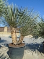 Yucca elata - dvě rostliny