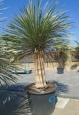 Yucca elata -dvohlavá