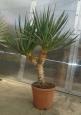 Yucca gloriosa dvouhlavá