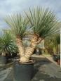 Yucca rigida čtyřhlavá