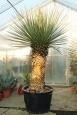 Yucca rigida dvouhlavá