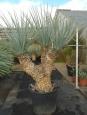 Yucca rigida tříhlavá