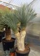 Yucca rostrata tříhlavá