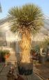 Yucca thompsoniana dvouhlavá