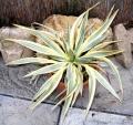 Yucca gloriosa `Bright star`