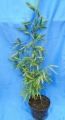 Phyllostachys parvifolia