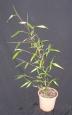 Phyllostachys vivax