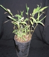 Pleioblastus viridistriatus Auricoma