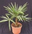 Trachycarpus wagnerianus x fortunei