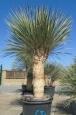 Yucca elata dvouhlavá