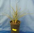 Yucca endlichiana