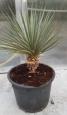 Yucca neomexicana