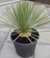 Yucca thompsoniana