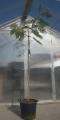 Albizia julibrissin Tropical dream