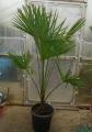 Trachycarpus takil Bageshwar (Kumaon)