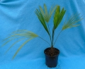Trachycarpus takil Kalamuni